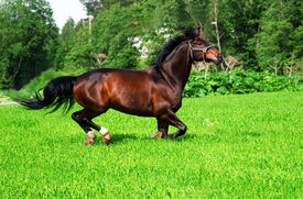 picture of running horse  - running bay horse  green meadow summer sunny day - JPG