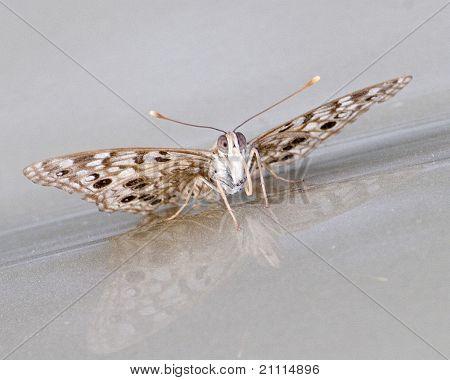 Hackberry mariposa