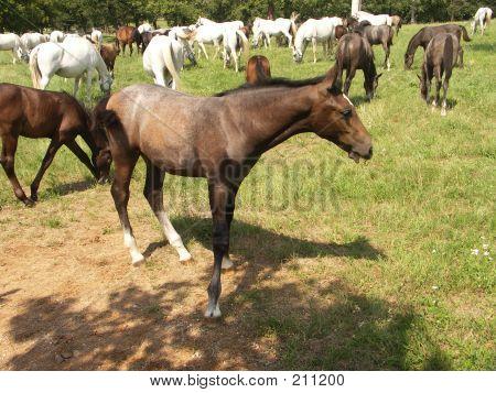 Foal (baby Horse)