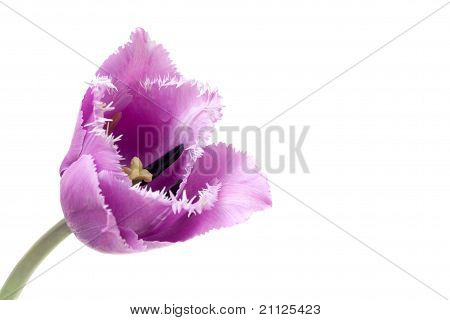 Fringed Violet Tulip Blue Heron Isolated On White