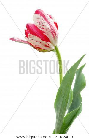 White Pink Parrot Tulip Isolated On White