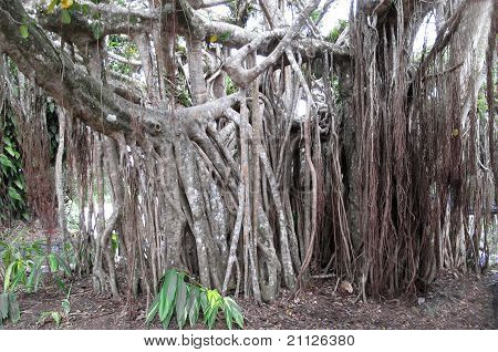 Stilt Roots On Large Tree