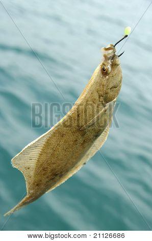 European Flounder, Fluke, Flounder.