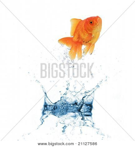 Golden fish jumping out of water