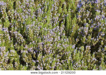 Rosemary (Rosmarinus officinalis)) Background