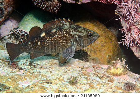 White-edged Rockfish Under Water