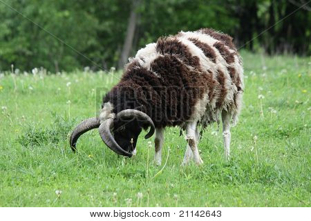 Sheep 4 Horns (Jacob)