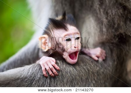 Cute yawning baby macaque monkey