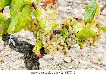 white grape in Sauternes Region, Aquitaine, France
