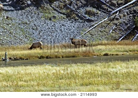 Large Buck Elk At Yellowstone