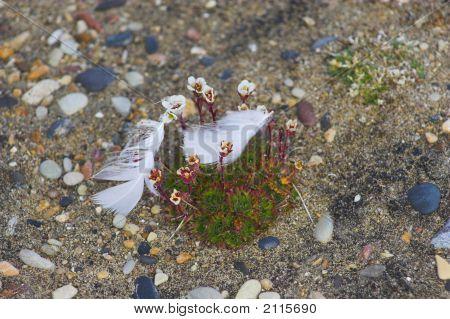Flowers In Arctic Desert
