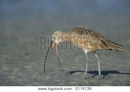 Longbilled Curlew   004 J