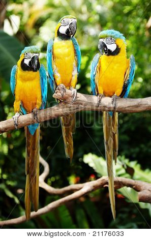 Three parrot in green rainforest. Outdoor.