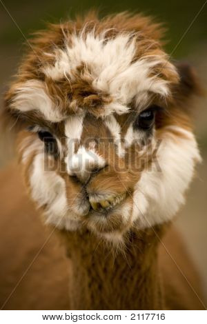 Alpaca Face Brown White Calico
