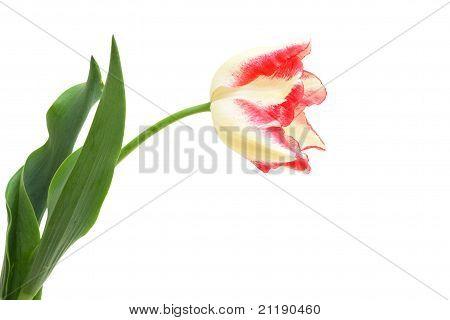 Tulip Triumph Toucan