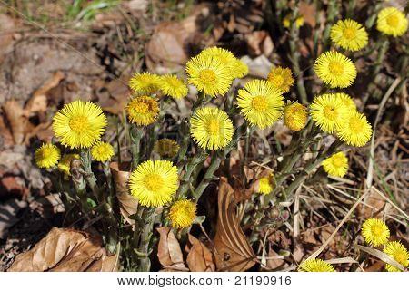 Blossoms Of Coltsfoot, Tussilago Farfara