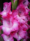 image of gladiola  - A photograph of beautiful pink Gladiola flowers - JPG