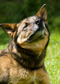 picture of german-sheperd  - Portrait of a German Shepherd Dog on a Sunny Day - JPG