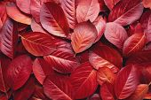 Closeup of Red Aronia Autumn leaves background texture. Red Autumn Leaves Background. Aronia melanoc poster