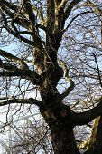 Old Gnarled Winter Tree poster