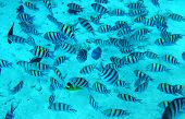 stock photo of sergeant major  -  Group of coral fish in blue water - JPG