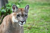 foto of cougar  - The cougar  - JPG