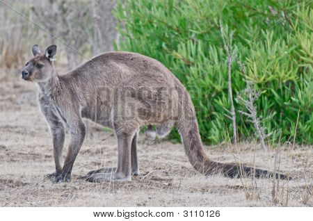 Large Male Kangaroo On Kangaroo Island