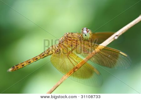 Yellow-winged Darter