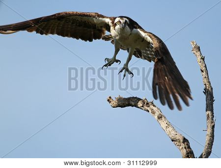 Osprey (Pandion haliaetus) in Flight - Florida