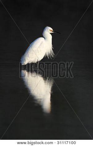 Snowy Egret in Breeding Plumage - Florida