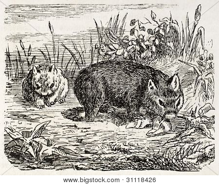 Southern Hairy-nosed Wombat old illustration (Lasiorhinus latifrons). Created by Gerusez, published on L'Illustration, Journal Universel, Paris, 1863