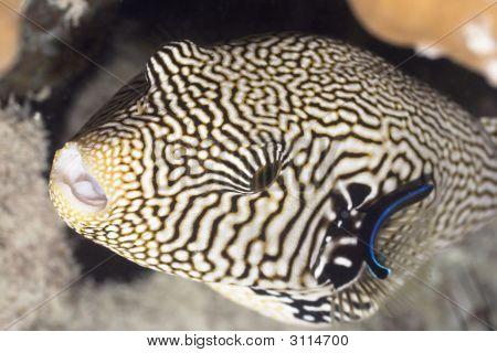 Tropecal Fish Pufferfish