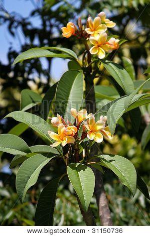 Yellow Frangipanis