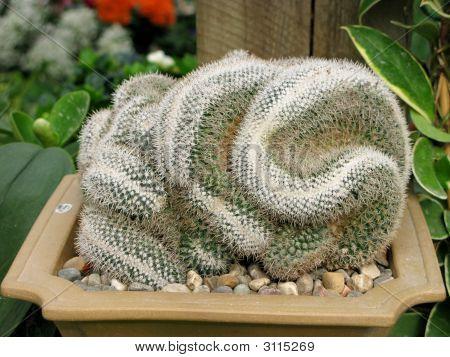 Brain Cacti