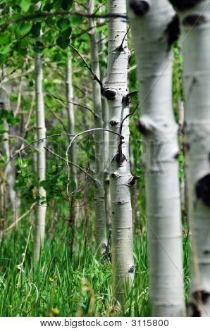Aspen Forest 2