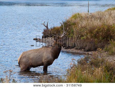 Bull Elk Standing In Lake Estes