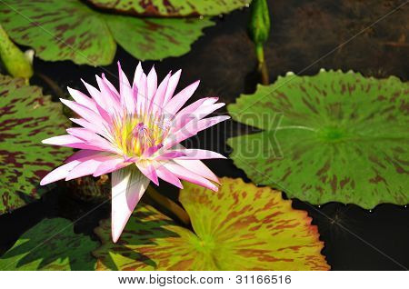 Pink Color Lotus Blooming