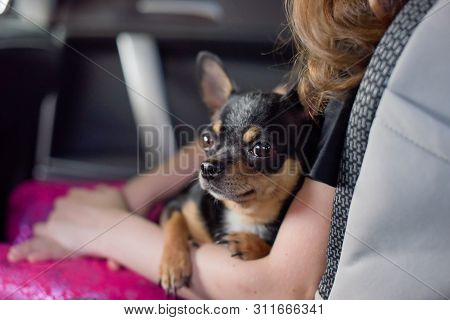 poster of Companion Dog Sitting In The Car. Chihuahua Dog In The Car In The Hands Of A Little Girl. Chihuahua