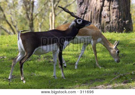 Blackbuck Gazelle