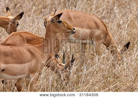 Grant's Gazelles Standing In Long Grass