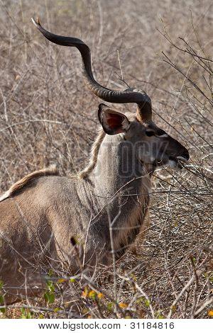 Nyala Antelope Standing In The Bushes