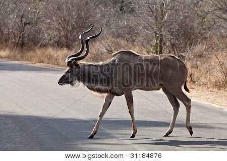 Nyala Antelope Walking In The Bushes