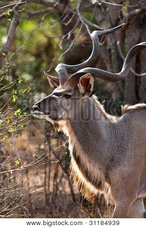 Nyala Antelope In The Bushes