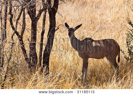 Grant's Gazelle Standing In Long Grass