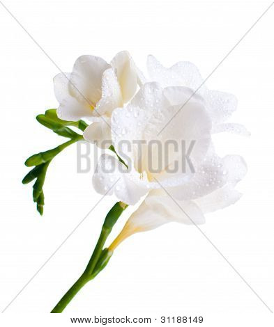 Close Up Of White Freesia