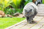 Big Fat Overweight Serious Grey British Cat With Yellow Eyes Walking On Road At Backyard Outdoors Wi poster