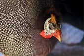 foto of guinea fowl  - beautiful colored guinea fowl with lot of spots on her plumage  - JPG