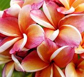 foto of glorious  - Glorious frangipani or plumeria flowers background macro - JPG