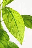 image of avocado tree  - close up of avocado green leaf on background - JPG