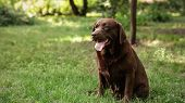 Cute Chocolate Labrador Retriever On Green Grass In Summer Park poster